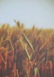 Gocce di acqua sopra le orecchie dorate di grano sul campo - annata Fotografia Stock Libera da Diritti