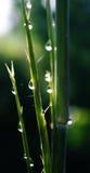 Gocce di acqua su piccolo bambù Fotografia Stock