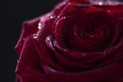 Gocce di acqua su una bella rosa rossa fotografia stock