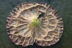 Gocce di acqua su una foglia secca del loto Fotografia Stock