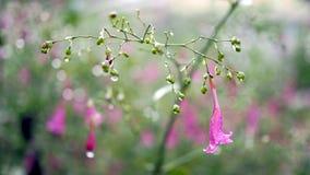 Gocce di acqua sui fiori porpora fotografie stock