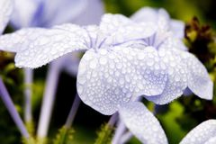Gocce di acqua sui fiori viola Immagine Stock Libera da Diritti