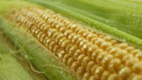 Gocce di acqua sui grani di cereale fresco con le foglie verdi video d archivio
