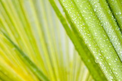 Gocce di acqua sul foglio di un palmtree Fotografie Stock