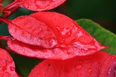 Gocce di acqua sul fondo rosso di leaf Fotografie Stock