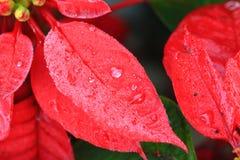 Gocce di acqua sul fondo rosso di leaf Immagini Stock Libere da Diritti