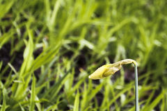 Gocce di acqua sul germoglio del narciso Fotografie Stock Libere da Diritti