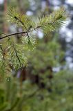 Gocce di acqua sul pino Immagini Stock
