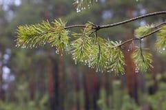 Gocce di acqua sul pino Fotografie Stock Libere da Diritti