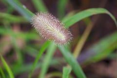 Gocce di acqua sul polline dell'erba durante la stagione delle pioggie immagini stock libere da diritti