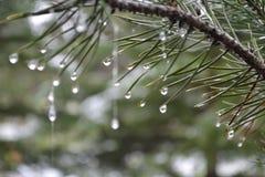 Gocce di acqua sul ramo del pino Immagini Stock Libere da Diritti