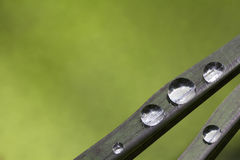 Gocce di acqua sulla foglia nera del riso Immagini Stock