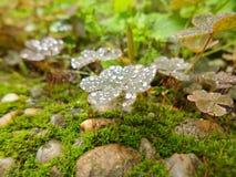 Gocce di acqua sulla natura della primavera del trifoglio Fotografia Stock
