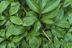 Gocce di acqua sulle foglie Fotografia Stock Libera da Diritti
