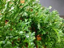 Gocce di acqua sulle foglie del thuja Immagine Stock Libera da Diritti