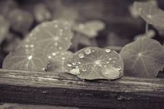 Gocce di acqua sulle foglie delle piante Fotografia Stock Libera da Diritti