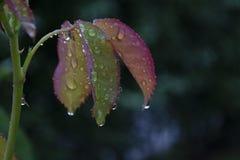 Gocce di acqua sulle foglie di un fiore Fotografia Stock Libera da Diritti