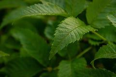 Gocce di acqua sulle foglie dopo pioggia immagine stock