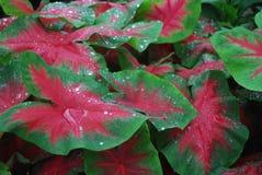 Gocce di acqua sulle foglie luminose Fotografie Stock Libere da Diritti