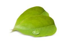 Gocce di acqua sulle foglie verdi III Fotografie Stock Libere da Diritti