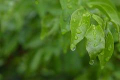 Gocce di acqua sulle foglie verdi un giorno piovoso immagini stock libere da diritti