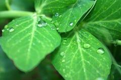 Gocce di acqua sulle foglie verdi di una pianta Immagini Stock