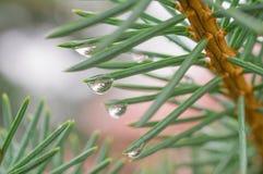 Gocce di pioggia all'estremità dei rami Immagini Stock Libere da Diritti