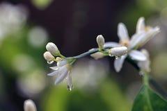Gocce di pioggia che gocciolano dal fiore dell'agrume Fotografia Stock Libera da Diritti