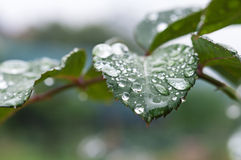 Gocce di pioggia della foglia di Rosa Immagini Stock Libere da Diritti