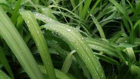 Gocce di pioggia, rugiada di mattina, rugiada sulle foglie, gocce di pioggia sulle foglie immagini stock libere da diritti