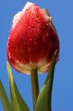 Gocce di pioggia su un tulipano Fotografie Stock