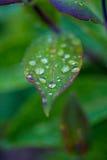Gocce di pioggia su una foglia Fotografia Stock