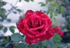 Gocce di pioggia su una rosa rossa fotografia stock libera da diritti