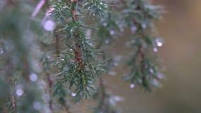 Gocce di pioggia sugli aghi archivi video