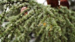 Gocce di pioggia sugli aghi dell'abete archivi video