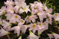 Gocce di pioggia sui fiori immagini stock