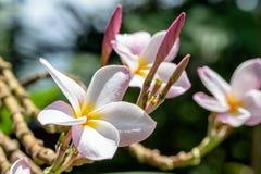 Gocce di pioggia sui fiori del frangipane Fotografie Stock