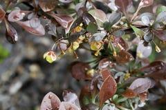 Gocce di pioggia sui fiori 2 del giardino Fotografie Stock Libere da Diritti