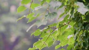 Gocce di pioggia sui fogli stock footage