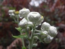 Gocce di pioggia sui germogli di fiore Fotografia Stock Libera da Diritti
