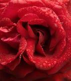 Gocce di pioggia sui petali di rosa Fotografia Stock Libera da Diritti