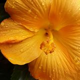 Gocce di pioggia sui petali gialli fotografia stock libera da diritti