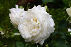 Gocce di pioggia sui petali di una rosa bianca enorme in un giardino soleggiato di estate fotografie stock