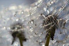 Gocce di pioggia sui semi del dente di leone fotografia stock libera da diritti