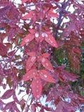 Gocce di pioggia sul cespuglio rosso Immagini Stock