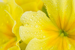 Gocce di pioggia sul fiore giallo Fotografia Stock
