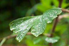 Gocce di pioggia sul ginkgo biloba Immagine Stock