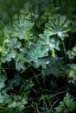 Gocce di pioggia sul primo piano delle foglie verdi immagine stock libera da diritti