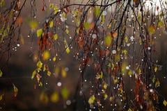 Gocce di pioggia sull'albero in autunno Fotografia Stock Libera da Diritti