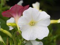 Gocce di pioggia sull'attaccatura bianca del fiore della petunia Immagine Stock
